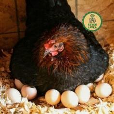 Яйця курячі 10 шт