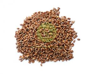 Пшениця Чорноброва