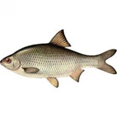 Риба Вобла