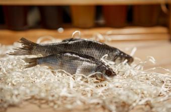 Риба Плотва